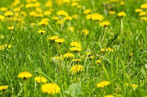 erba e celidonia