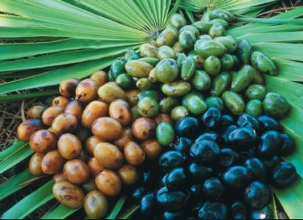Sao Palmeto (palma nana americana)